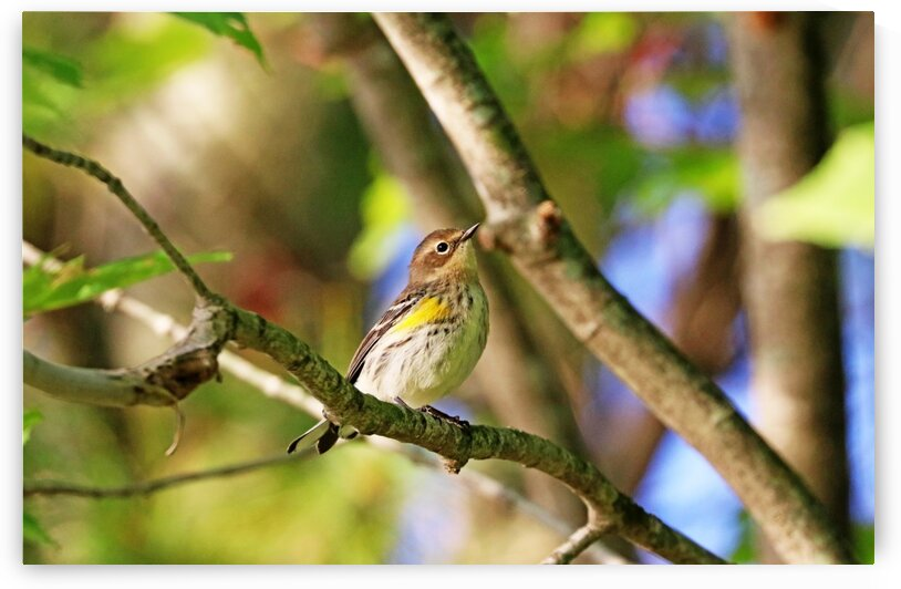 Yellow Rumped Warbler Looking Pretty by Deb Oppermann