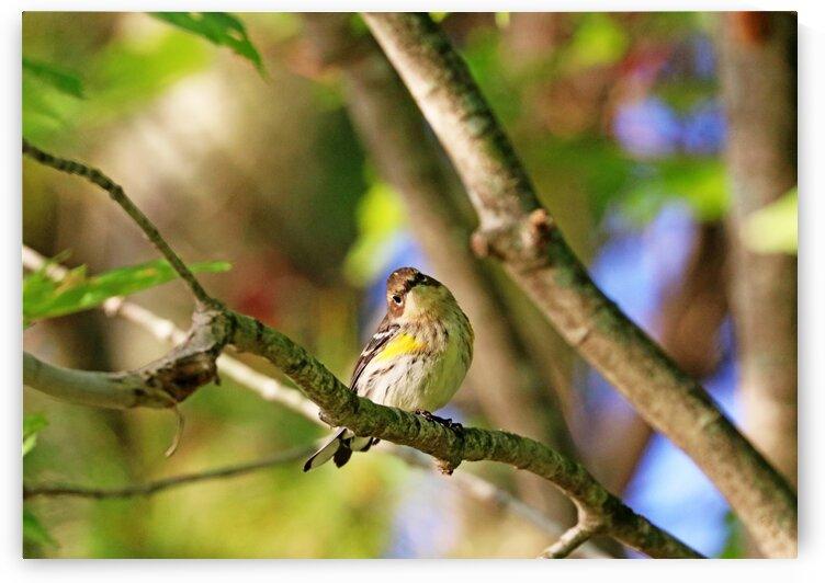 Yellow Rumped Warbler Listening by Deb Oppermann