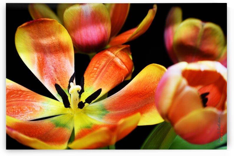 Tulip 1 by Alana Rothstein
