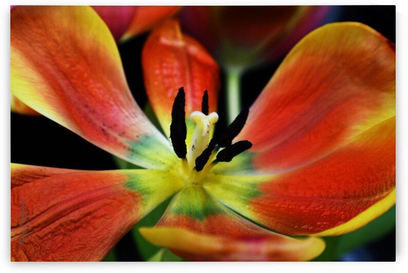 Tulip 2 by Alana Rothstein