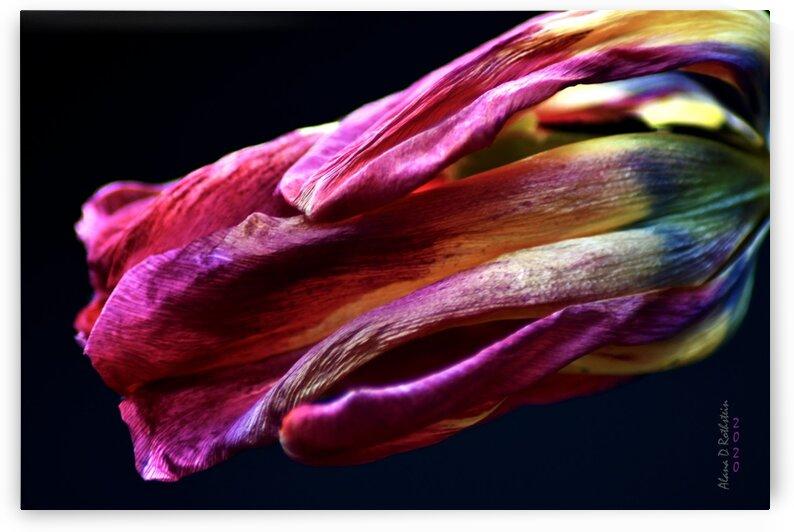 Tulip 3 by Alana Rothstein