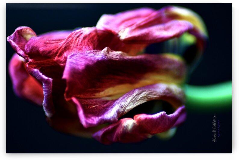 Tulip 5 by Alana Rothstein