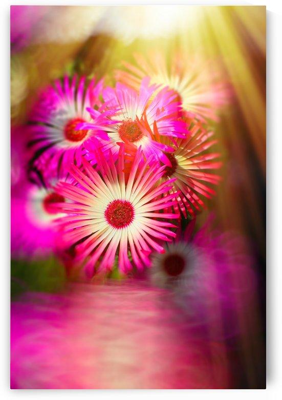 Sun worshippers pink by Dagmar Marina