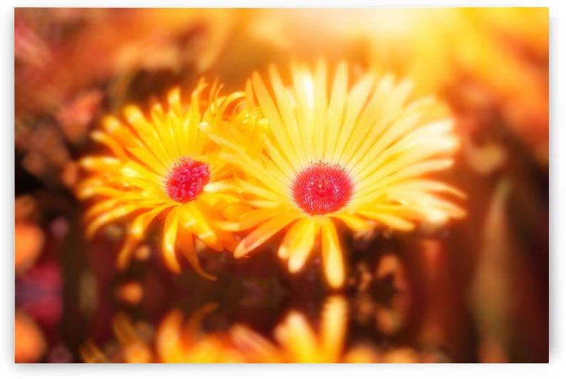 sun worshippers goldduo by Dagmar Marina