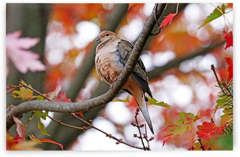 Mourning Dove In Fall Maple Tree by Deb Oppermann