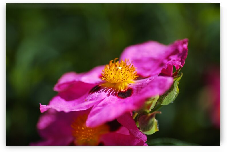 Hibiscus Desert Rose Double Flower by Joy Watson
