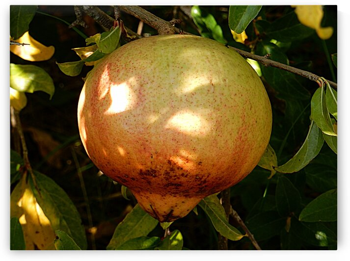 Pomegranate Ready to Pick by Dorothy Berry-Lound