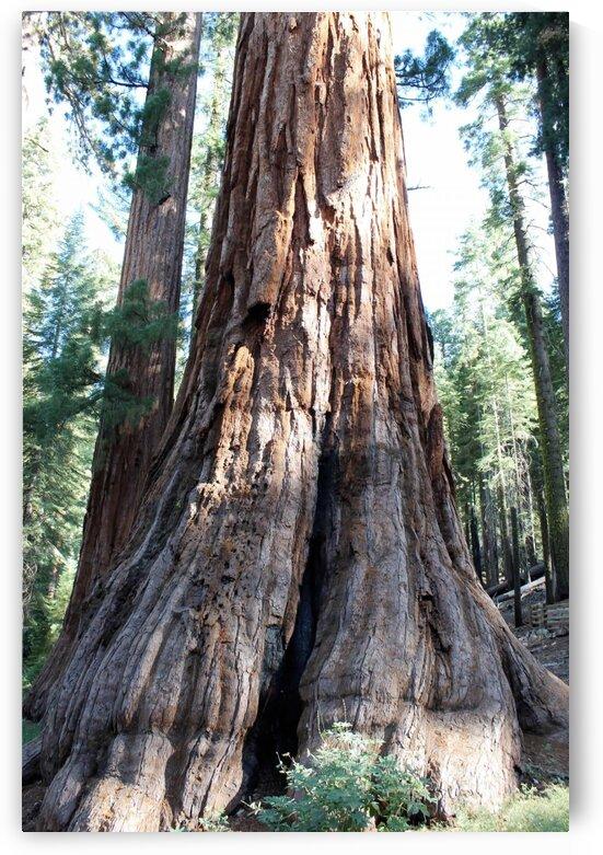 Giant Sequoias by Jenni OBrien