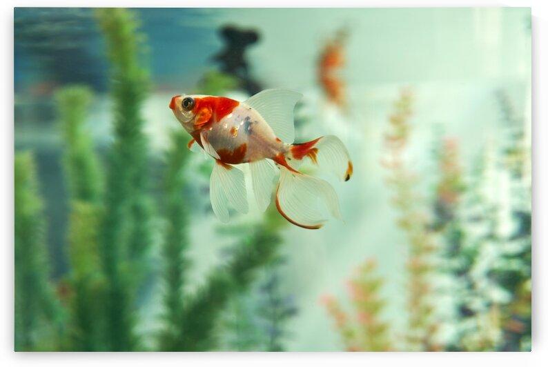Goldfish Aquarium by Nicole Buzzing Photography