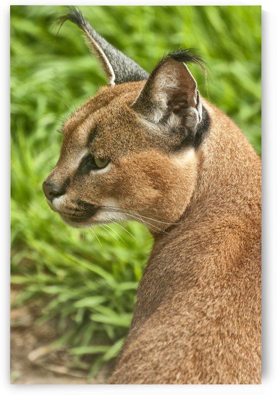 Caracal Lynx (Caracal caracal) by Jay Lethbridge