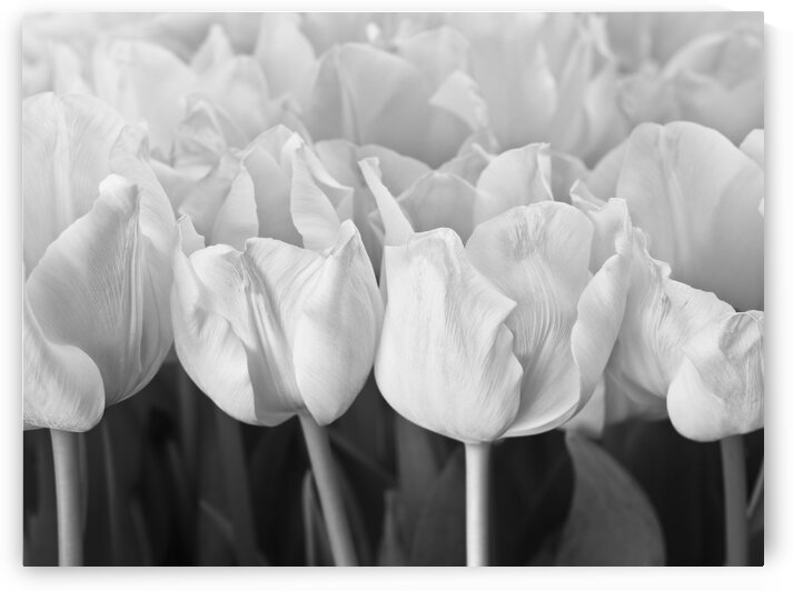 Bunch of Tulips close-up by Assaf Frank