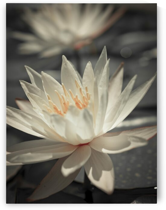Water Lily by Assaf Frank