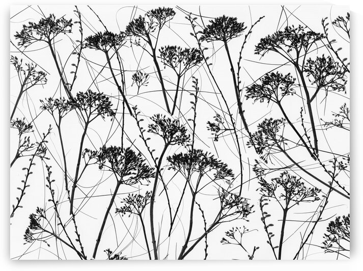 Silhouette of dried plants by Assaf Frank