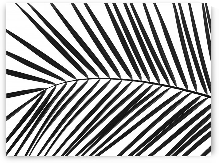 Palm tree leaf on white background by Assaf Frank