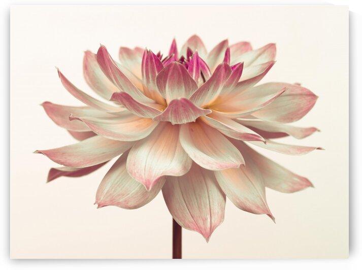 Dahlia Flower by Assaf Frank