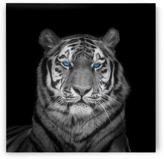 Blue eyes tiger face by Assaf Frank