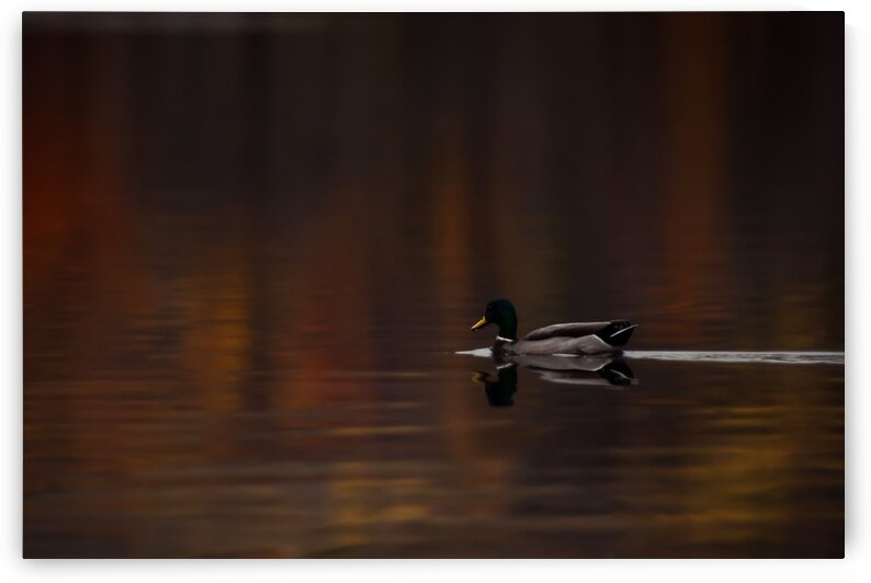 Mallard in Autumn by Chris Couling