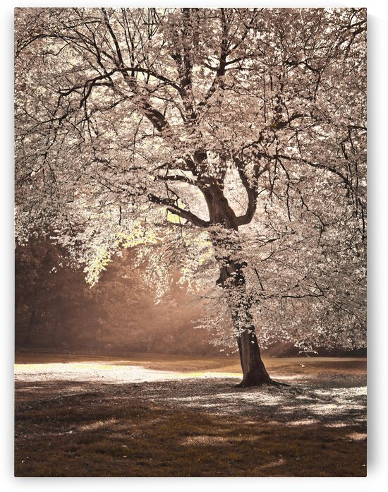 Autumn tree in sunlight by Assaf Frank