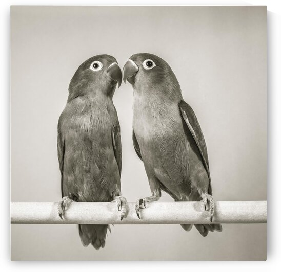 Two love birds kissing by Assaf Frank