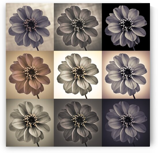 Collage of Dahlias flowers by Assaf Frank