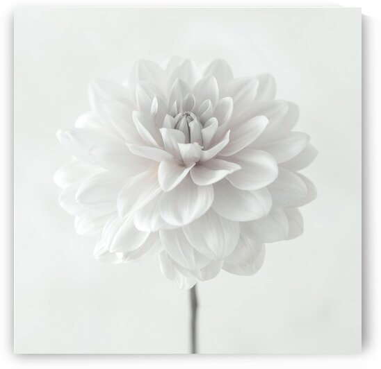Dahlia flower on white background by Assaf Frank