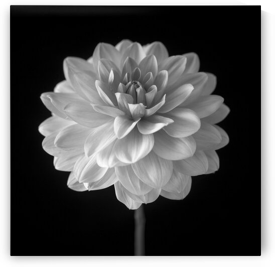 Dahlia flower on black background by Assaf Frank