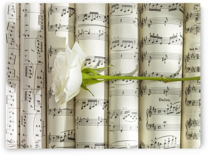 White rose on scrolls of sheet music by Assaf Frank