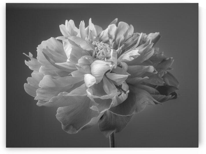 Peony flower by Assaf Frank