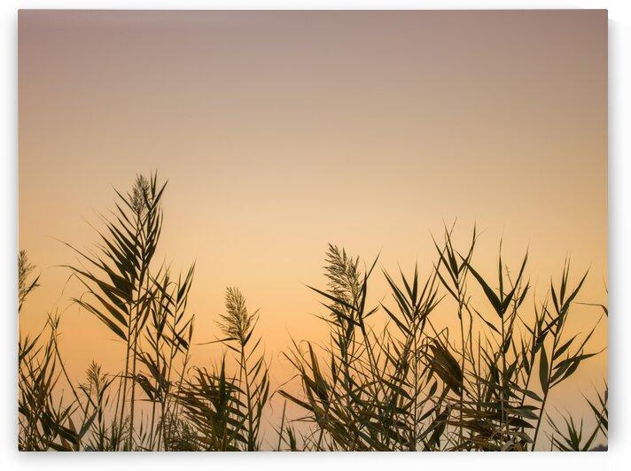 Reeds by Assaf Frank