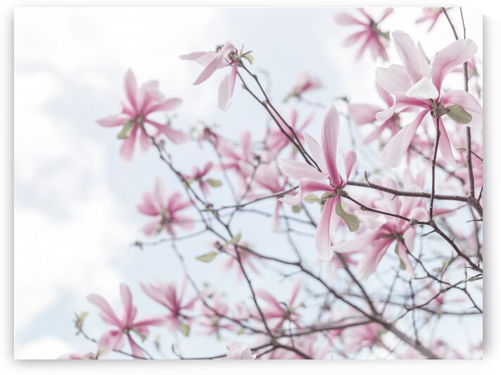 Magnolias against sky by Assaf Frank
