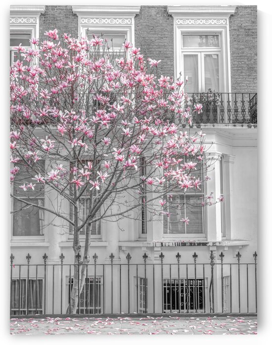Magnolia tree outside house in London by Assaf Frank