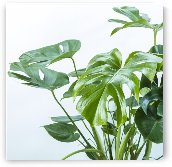 Close-up of a plant on white background by Assaf Frank