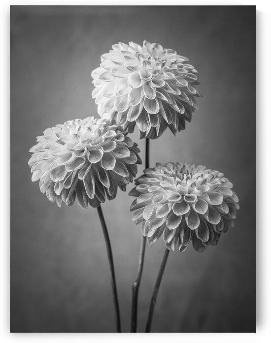 Three Dahlia flowers by Assaf Frank