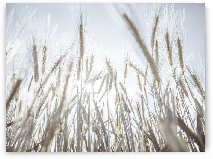 Sun rays through barley filed by Assaf Frank
