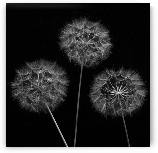 Dandelion flowers over black background by Assaf Frank