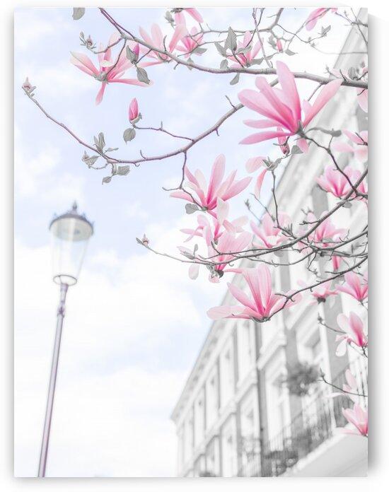 Magnolia flowers by Assaf Frank