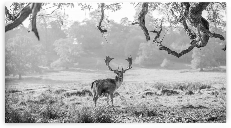 Stag in a field by Assaf Frank
