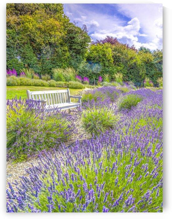 Lavender field by Assaf Frank