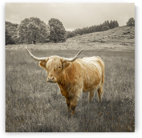 Highland Cows by Assaf Frank
