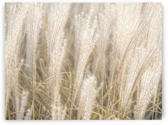 Japanese Silver Grass by Assaf Frank