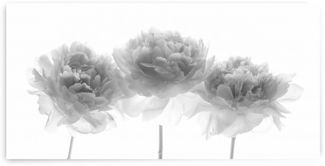 Peonies on white background by Assaf Frank