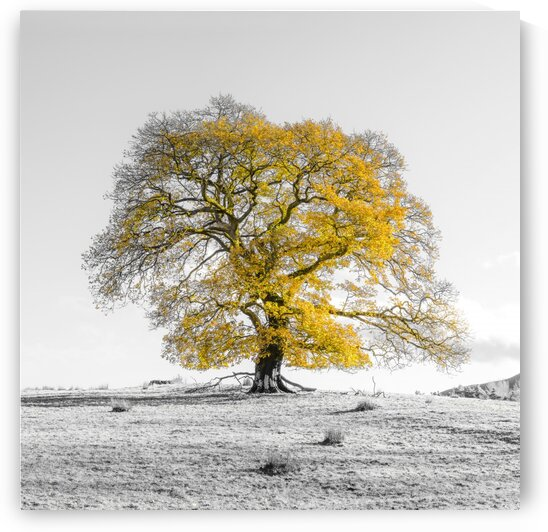 Tree on a hill, yellow, gold by Assaf Frank