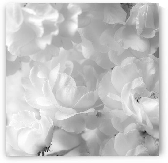 Roses by Assaf Frank