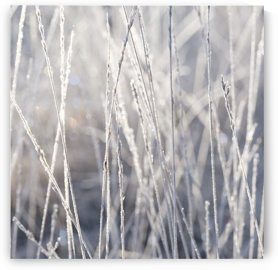 Frost on Grass by Assaf Frank