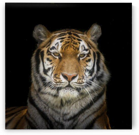 Tiger face by Assaf Frank