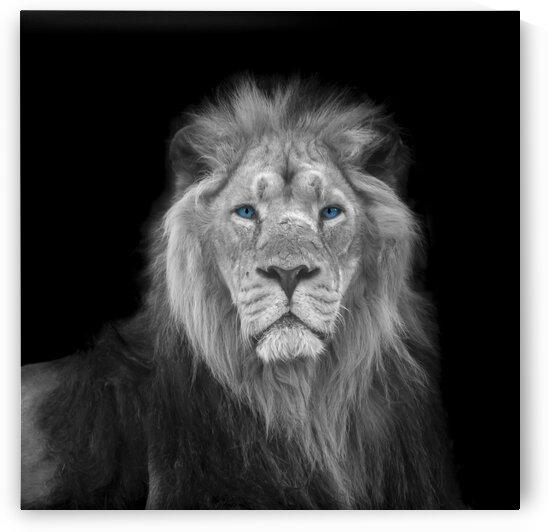 Lion face by Assaf Frank