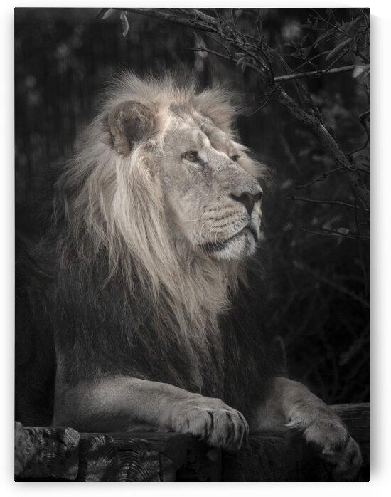 Lion by Assaf Frank