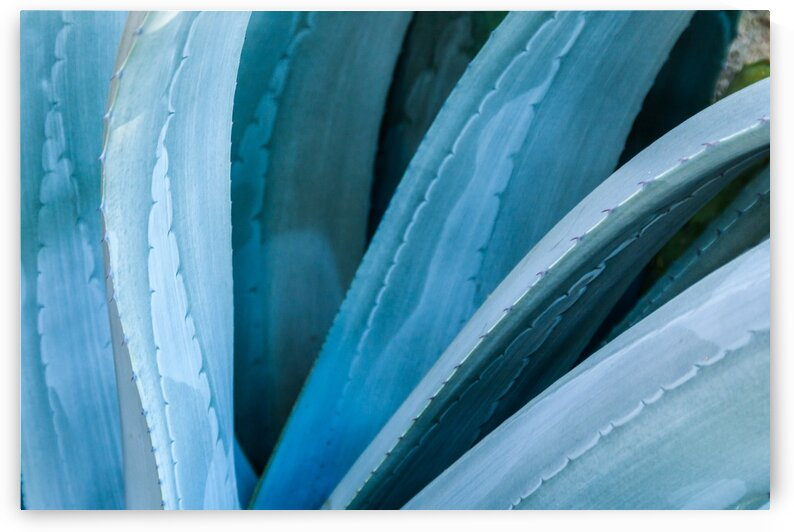 Blue Agave by bj clayden photography
