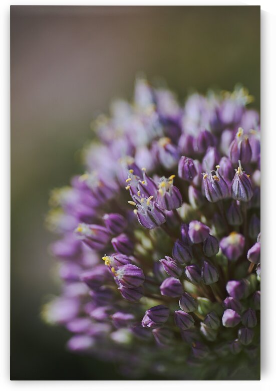 The Garlic Flower by Joy Watson