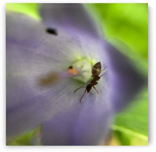 02_Ant In Purple Flower - Fourmi Et Fleur Pourpre_7139_SQUARE by Emmanuel Behier-Migeon